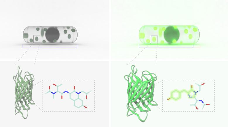 Reversible change of cell size and cellular fluorescence due to moisture change (Image prepared by Chin-Yi Cheng)